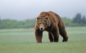 Картинка трава, медведь, бурый