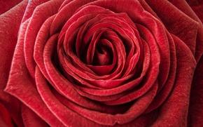 Картинка макро, роза, бутон, бархатная