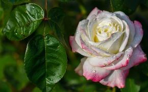Картинка листья, капли, макро, роза, бутон