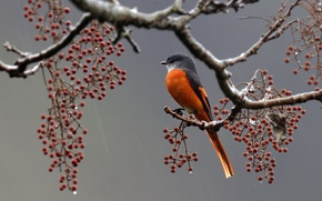 Картинка ягоды, дождь, птица, ветка, перья