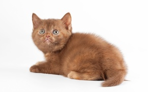 Картинка кошка, кот, белый фон, котёнок