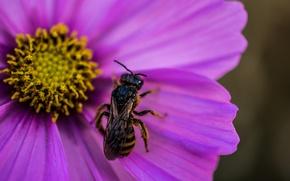 Картинка цветок, макро, flower, macro, wasp, Оса