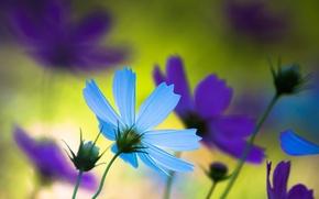 Картинка цветы, макро, природа, фиолетовый, лепестки, настроение, голубой, лето, япония