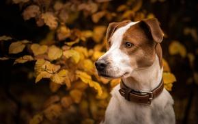 Обои осень, взгляд, морда, листья, ветки, портрет, собака, ошейник