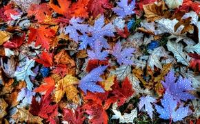 Картинка осень, листья, вода, капли, роса, клен
