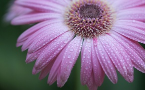 Обои цветок, вода, капли, роса, лепестки
