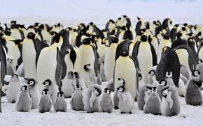 Картинка пингвины, маленькие, большие, семейство