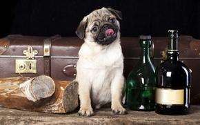 Картинка собака, мопс, чемодан, бутылки, полено