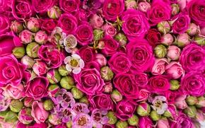 Обои pink, flowers, roses, розы