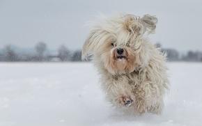 Картинка собака, Гаванский бишон, лохматая, бег, снег, зима