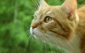 Картинка зелень, кошка, кот, морда, макро, рыжий, котэ