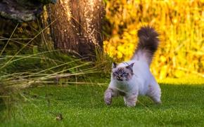 Картинка кот, прогулка, пушистый хвост, Бирманская кошка