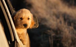 Картинка взгляд, рыжий, щенок