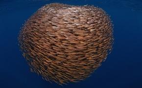 Картинка рыбы, море, косяк, стая, подводный мир