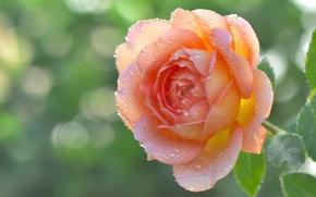 Обои бутон, макро, лепестки, роса, капли, роза
