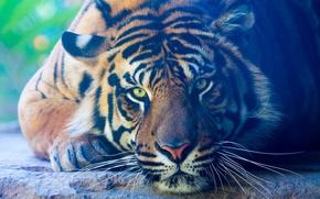 Картинка взгляд, тигр, животное, хищник, лапы, лежит, окрас