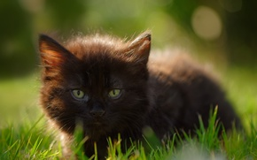 Обои трава, взгляд, мордочка, котёнок, чёрный котёнок