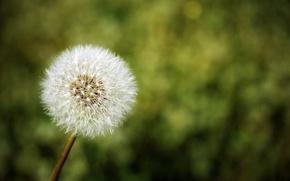 Картинка одуванчик, цветок, природа