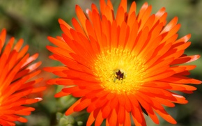 Обои поле, цветок, лепестки, сад, луг