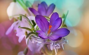 Картинка макро, цветы, весна, подснежники, крокусы, банка, боке