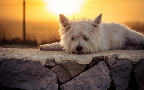 Обои закат, взгляд, собака
