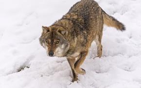 Картинка взгляд, снег, волк, ©Tambako The Jaguar