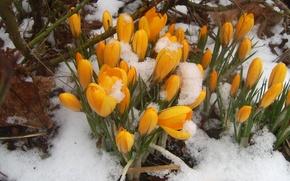 Картинка желтый, весна, подснежники