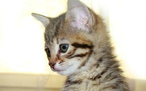 Картинка кошка, глаза, усы, глазки, голова, шерсть, пушистый, маленький, нос, малыш, мордочка, носик, уши, котёнок, мордашка, …