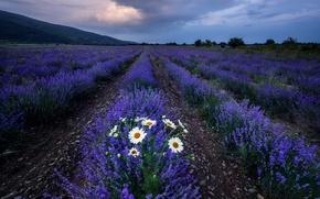 Картинка поле, цветы, ромашки, лаванды