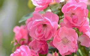 Обои макро, розовый, розы