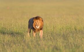 Картинка лев, lion, Кения, Kenya, Masai Mara, Масаи Мара