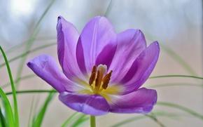 Обои тюльпан, лепестки, цветок, природа
