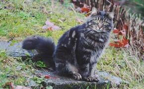 Обои кошка, кот, взгляд, фон