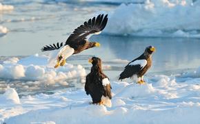 Картинка зима, снег, птицы, хищники, Япония, Хоккайдо, Japan, ястреб, Hokkaido, Белоплечий орлан