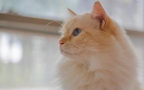 Обои кошка, взгляд, портрет, мордочка, пушистая