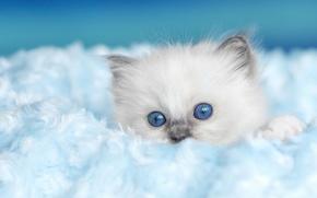 Картинка кошка, котенок, фон, пушистый, мех, мордашка, голубоглазый, рэгдолл