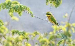 Картинка листья, птица, ветка, щурка золотистая, пчелоед