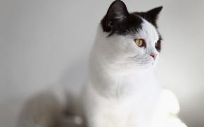Обои кошка, белый, кот