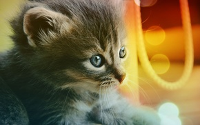 Обои голубые, глаза, Cat, котёнок