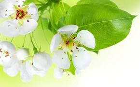 Картинка цветы, красота, весна, лепестки, тычинки, нежные, white, белые, яблоня, бутоны, цветение, flowers, пестики, leaves, Spring, …