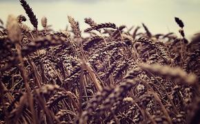 Обои fields, природа, колоски, sky macro, колосок, пшеница, поле, небо, колосья