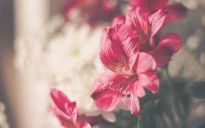 Обои цветы, розовые, лепестки