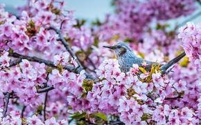 Картинка ветки, вишня, птица, сакура, цветение, цветки, Короткопалый бюльбюль, бюльбюль