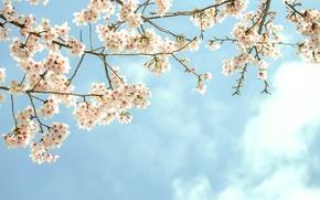 Картинка небо, цветы, ветки, дерево, цветение, фруктовое