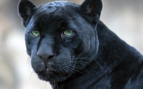 Картинка пантера, черная, ягуар