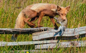 Картинка добыча, забор, трава, лиса, заяц
