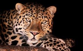 Обои леопард, смотрит, Magnificent leopard