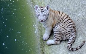 Картинка взгляд, тигр, серый, вола
