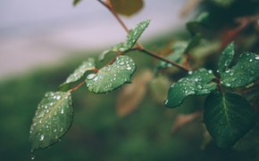 Картинка листья, капли, макро, зеленый, ветка