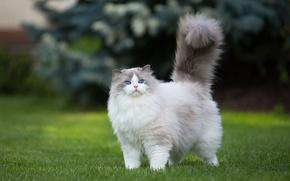 Картинка кошка, трава, кот, природа, котенок, газон, пушистый, хвост, прогулка, мордаха, голубоглазый, милаха, важный, рэгдолл